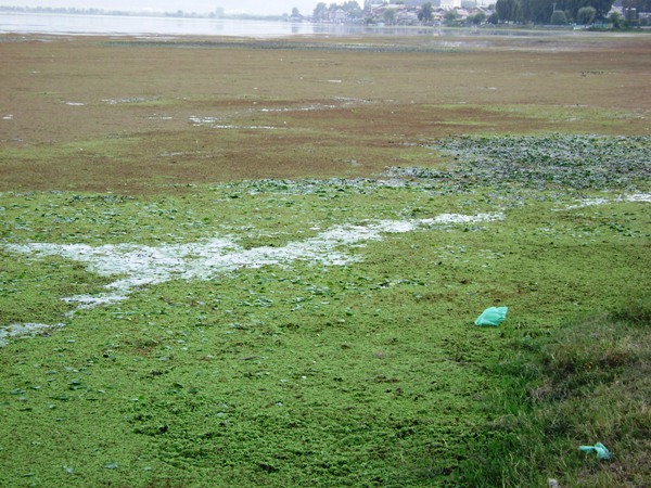 Algae in Dal lake